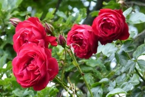 red-roses