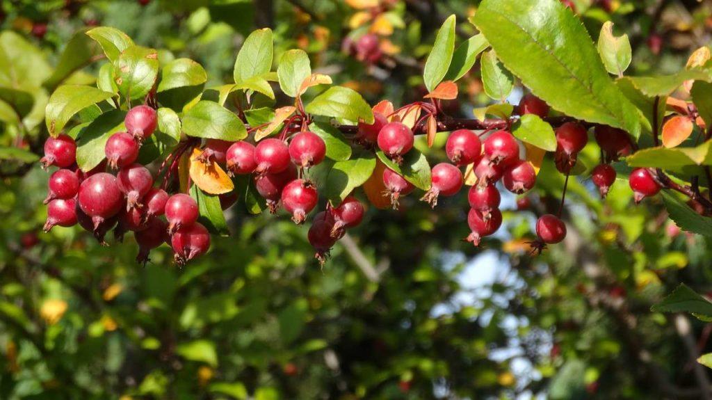 picture-of-crabapple-berries